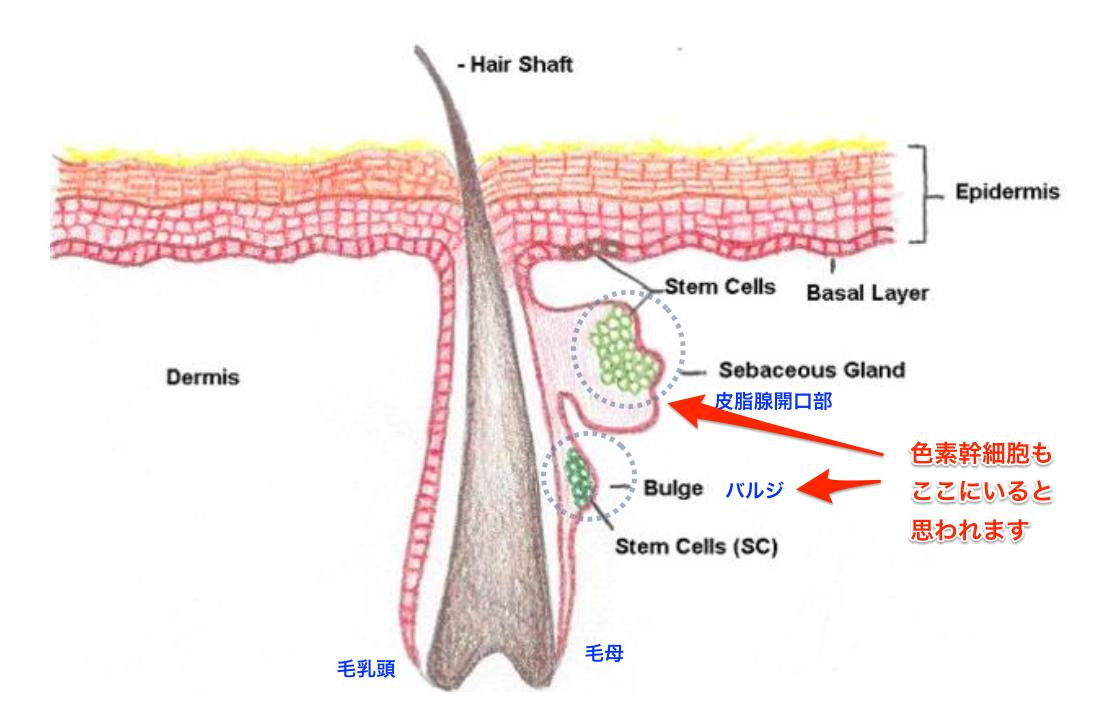 皮膚の幹細胞